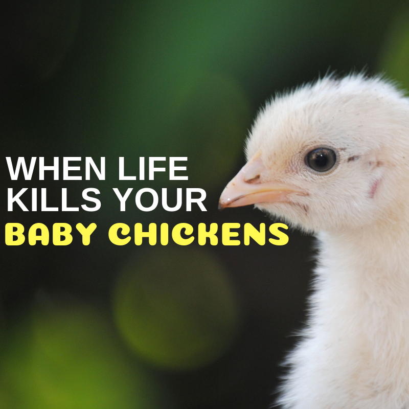 When life kills your baby chickens